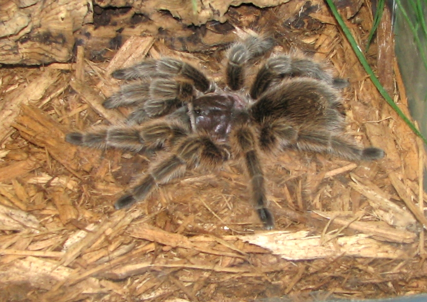 How To Care For And Feed Rose Hair Tarantulas Abdragons
