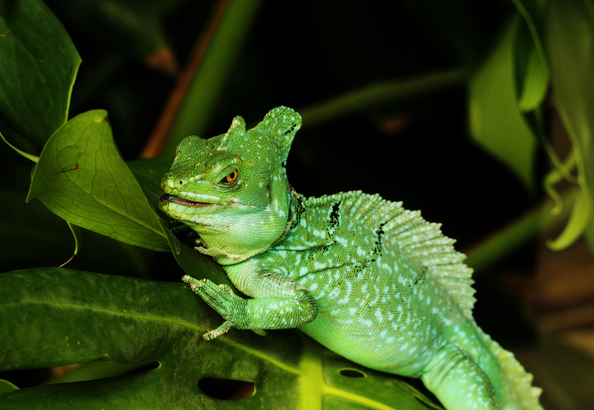 How to Feed and Care for your Green Basilisk Lizard ...