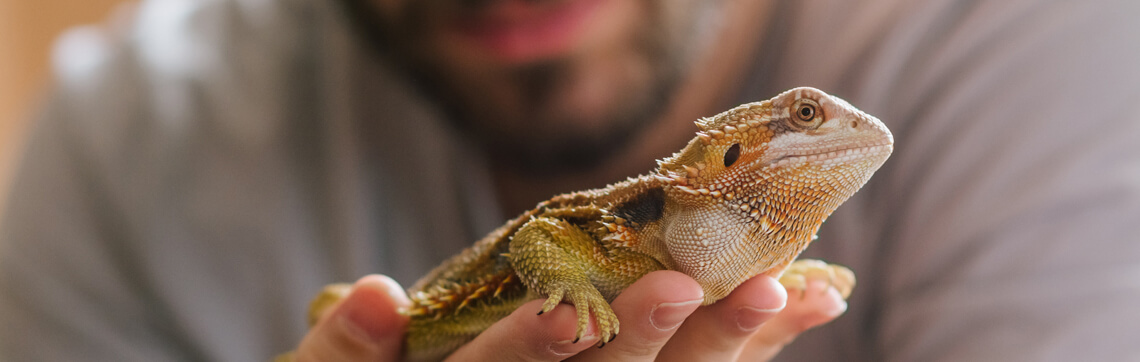What to Expect When You're Expecting—a Bearded Dragon