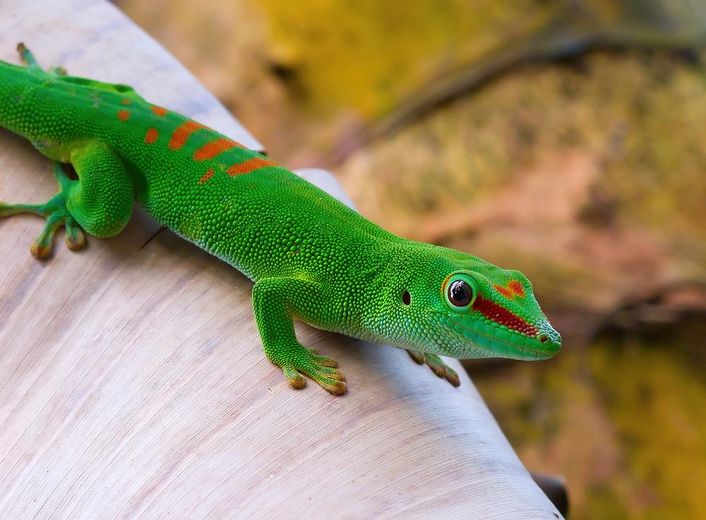 Image result for madagascan day gecko